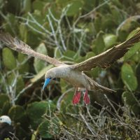 Wildlife Red footed Booby flying Galapagos Ecuador courtesy of Metropolitan Touring Contours Travel