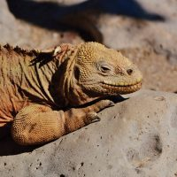 Wildlife Santa Fe Iguana sunbathing Galapagos Ecuador courtesy of Metropolitan Touring Contours Travel