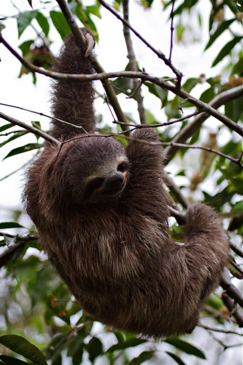 Amazon Iquitos Delfin Cruise Sloth on the tree Contours Travel