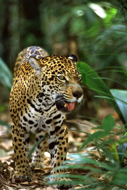 Amazon Embratur Jaguar Contours Travel